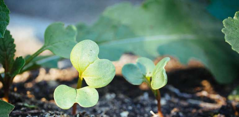 Gartenarbeit Quick-Tipp: Essen Sie diese Ausdünnungen