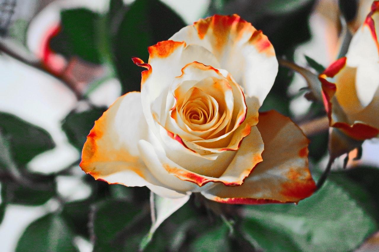 Der große lilafarbene Frühjahrsblüher